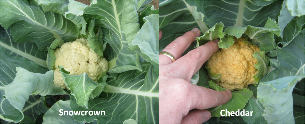 Cauliflower Varieties. photo credit - Blake Thaxton
