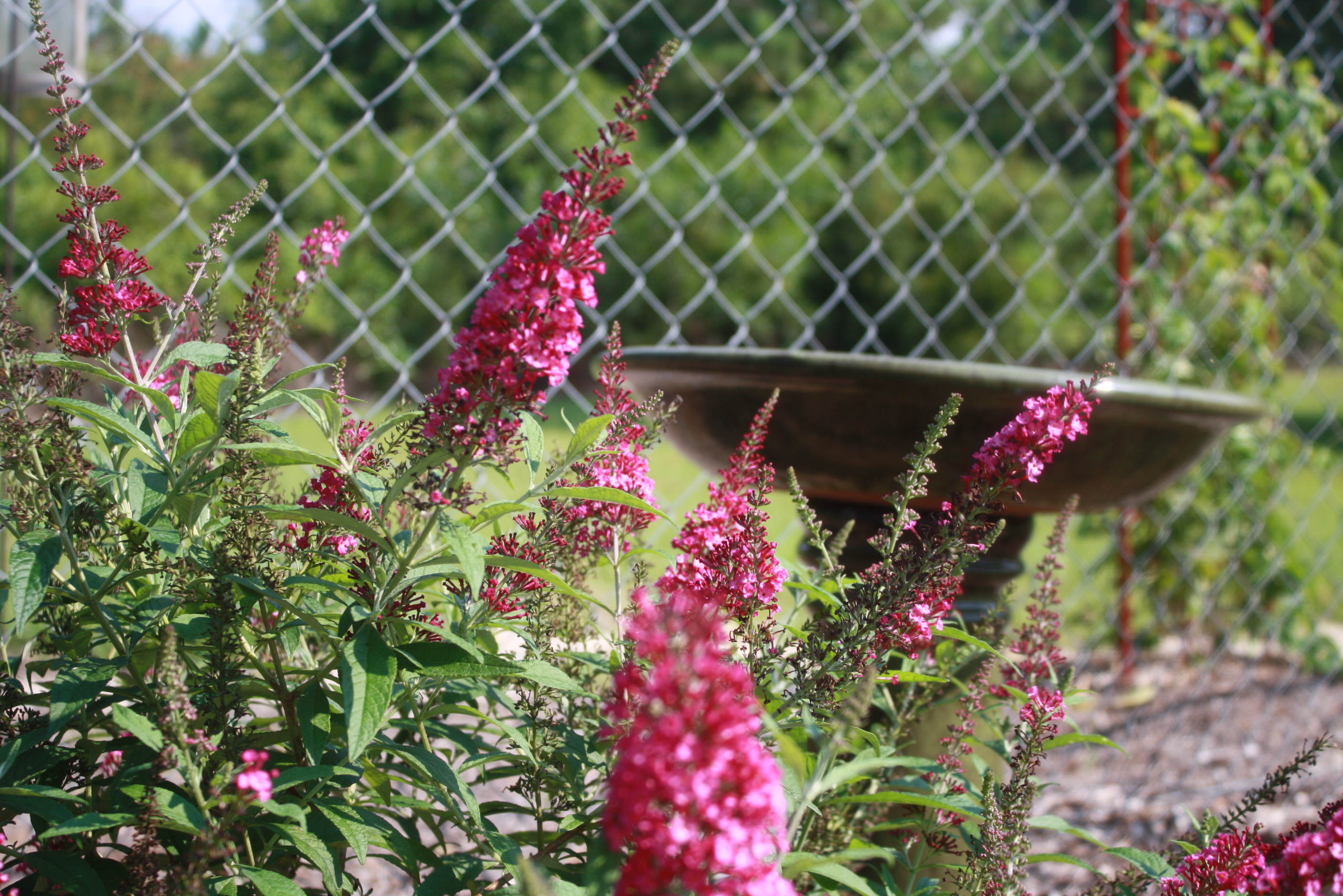 Cranrazz Butterfly Bush 5 Gardening In The Panhandle