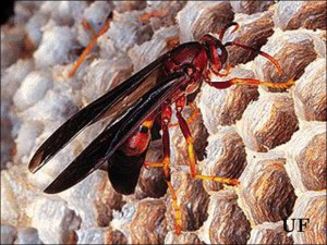 Paper wasp, Photo Credit: UF/IFAS Extension