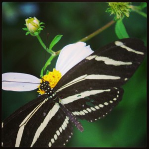 Zebra Longwing, our state butterfly! Photo courtesy Scott Jackson.