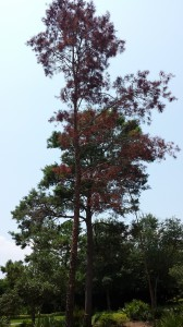 dying pines