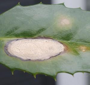 Phyllosticta lesion on holly leaf. Image Credit Matthew Orwat
