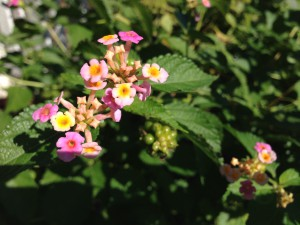 lantana blooms, seeds and leaves