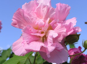 Confederate rose in bloom, Photo Credit: Santa Rosa County Extension
