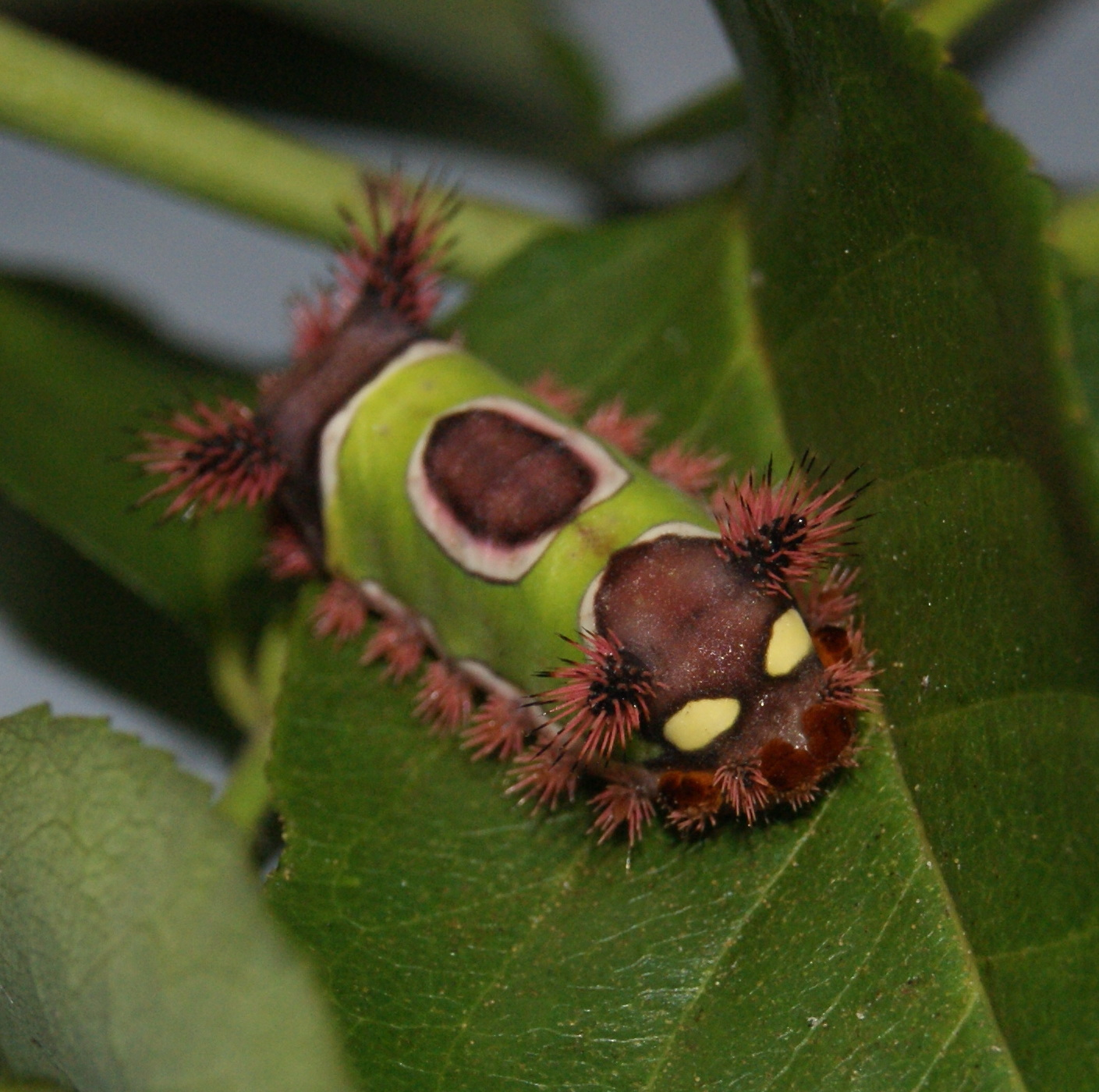 Watch Out for the Saddleback Caterpillar | Gardening in ...