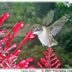 hummingbird and firespike