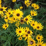 narrowleaf sunflower patch