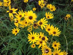 narrowleaf sunflower patch