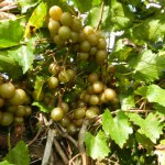 Start Thinking about Muscadines: A Native Northwest Florida Fruit