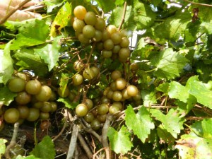 Prolific producing muscadine cultivar 'Granny Val' - Image Credit Dr. Peter C. Andersen