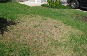 Sod webworm damage in a home lawn. Photo courtesy UF/IFAS.
