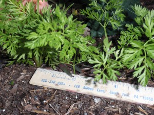 Depending on the variety, carrots need one to three inches per plant. Photo by Beth Bolles.
