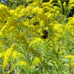 Blame Ragweed not Goldenrod for Fall Hay Fever