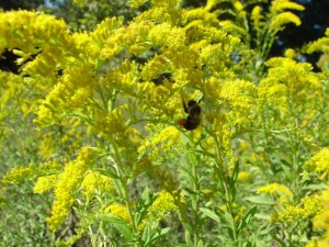 Goldenrod in bloom Photo credit: Larry Williams