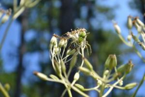 Lynx spider bbolles
