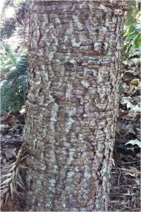 Figure 2. Closeup of the rough bark of Paraná pine.
