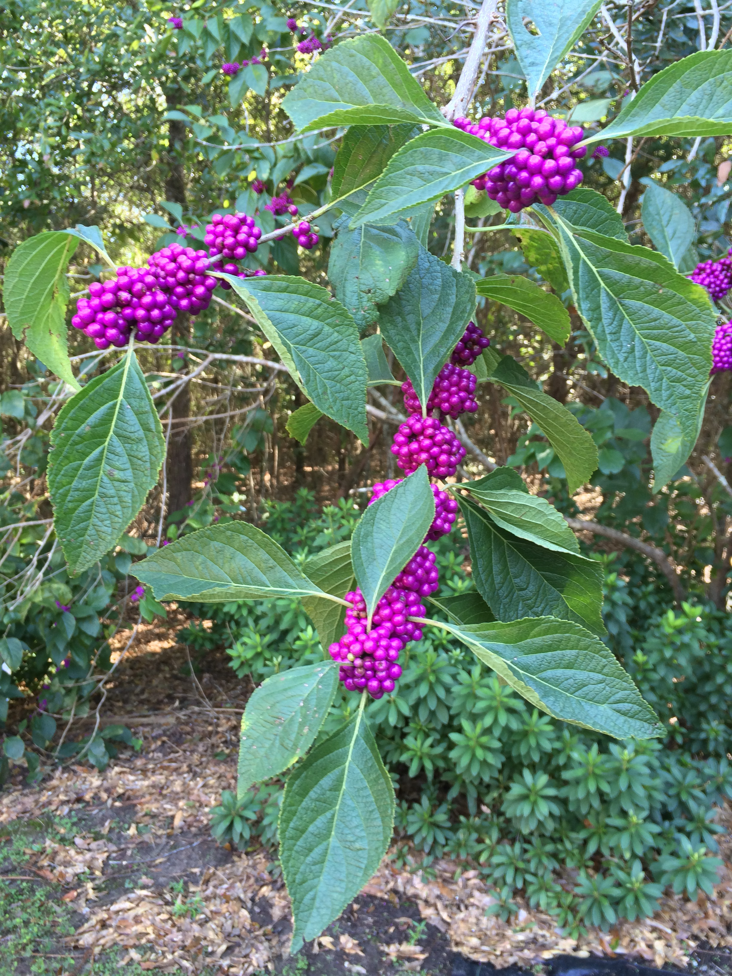 Florida Native Plants: Beautyberry » Gardening in the Panhandle on florida native gardening, florida native vegetation water, florida native yellow flowers, florida native grasses, florida plants, florida trees flowering perennial for hummingbirds,