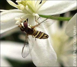 Hover Fly. Image Credit EDIS, Roy Frye