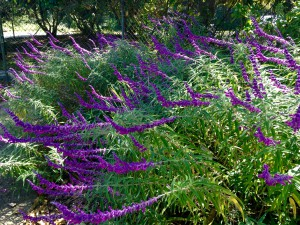 Deep purple blooms on a salvia in the landscape. Photo courtesy Taylor Vandiver.