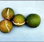 Fruit Splitting in Dooryard Citrus