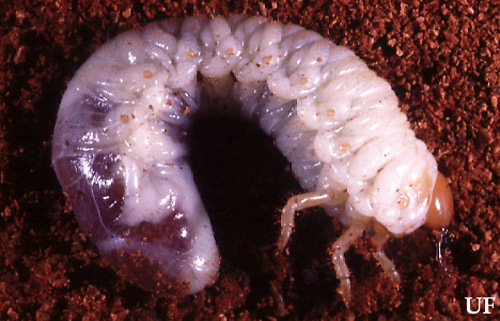 Typical white grub of the genus Phyllophaga. Photograph by John L. Capinera, UF / IFAS