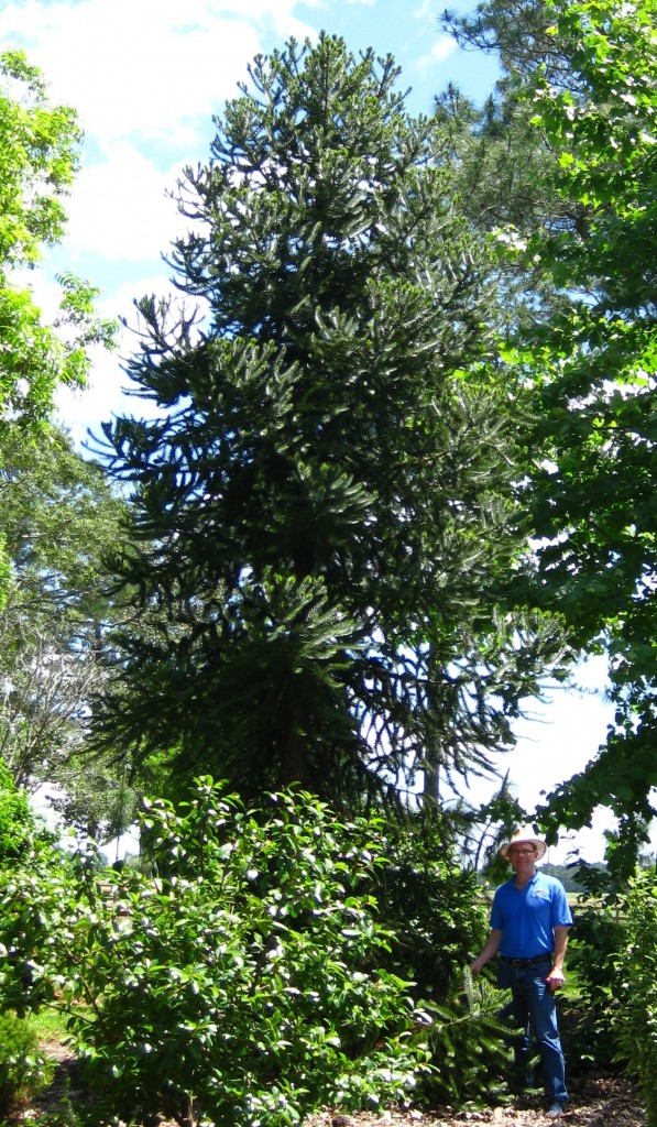 Parana pine, Araucaria angustifolia, is a rare type of conifer in the Gardens.