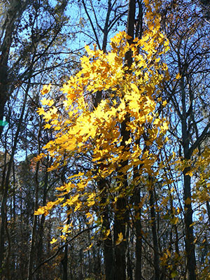 Fall foliage of Florida maple. Photo courtesy UF/IFAS.