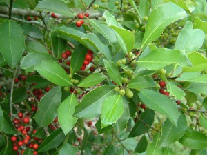 The Savannah holly has beautiful leaves and berries throughout the winter. Photo credit: Carrie Stevenson