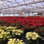 Enjoy Your Poinsettias after the Holidays