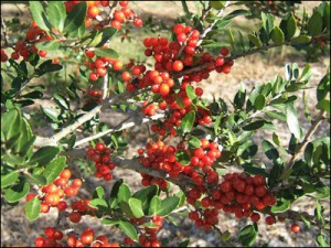 Yaupon holly fruit and foliage. Photo courtesy UF/IFAS.