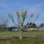 Avoid Crapemyrtle Mutilation