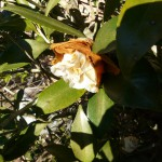 Camellia Flowers that Fail to Open