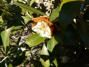 Partially opened freeze injured camellia flower, Photo credit: Larry Williams