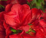 Encore® Azaleas – Add One More This Spring