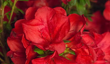 Encore Azaleas Add One More This Spring Gardening In The Panhandle