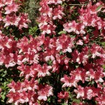 Pruning Azaleas for Colorful Springs to Come