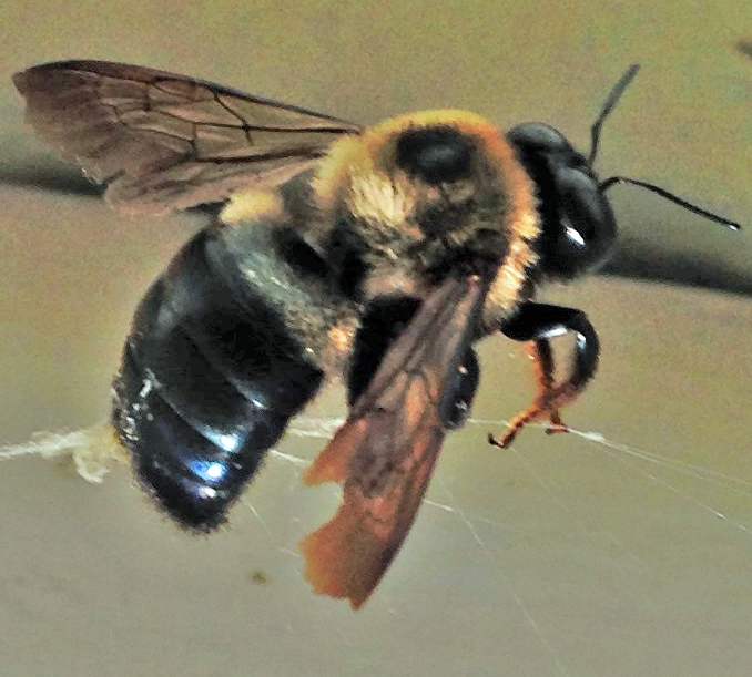 Photo 1 Large Carpenter Bee – Photo by Shep Eubanks