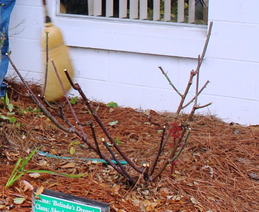 "Typical ""light"" pruning of a Hybrid Tea or Floribunda. Image Credit Matthew Orwat"