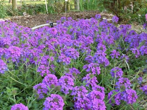 Verbena in full bloom. Image Credit: David W. Marshall, UF / IFAS