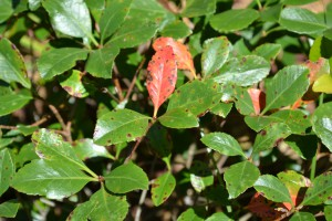 Indian hawthorn disease