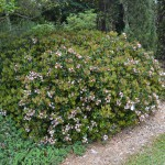 Plan Carefully with Indian Hawthorn