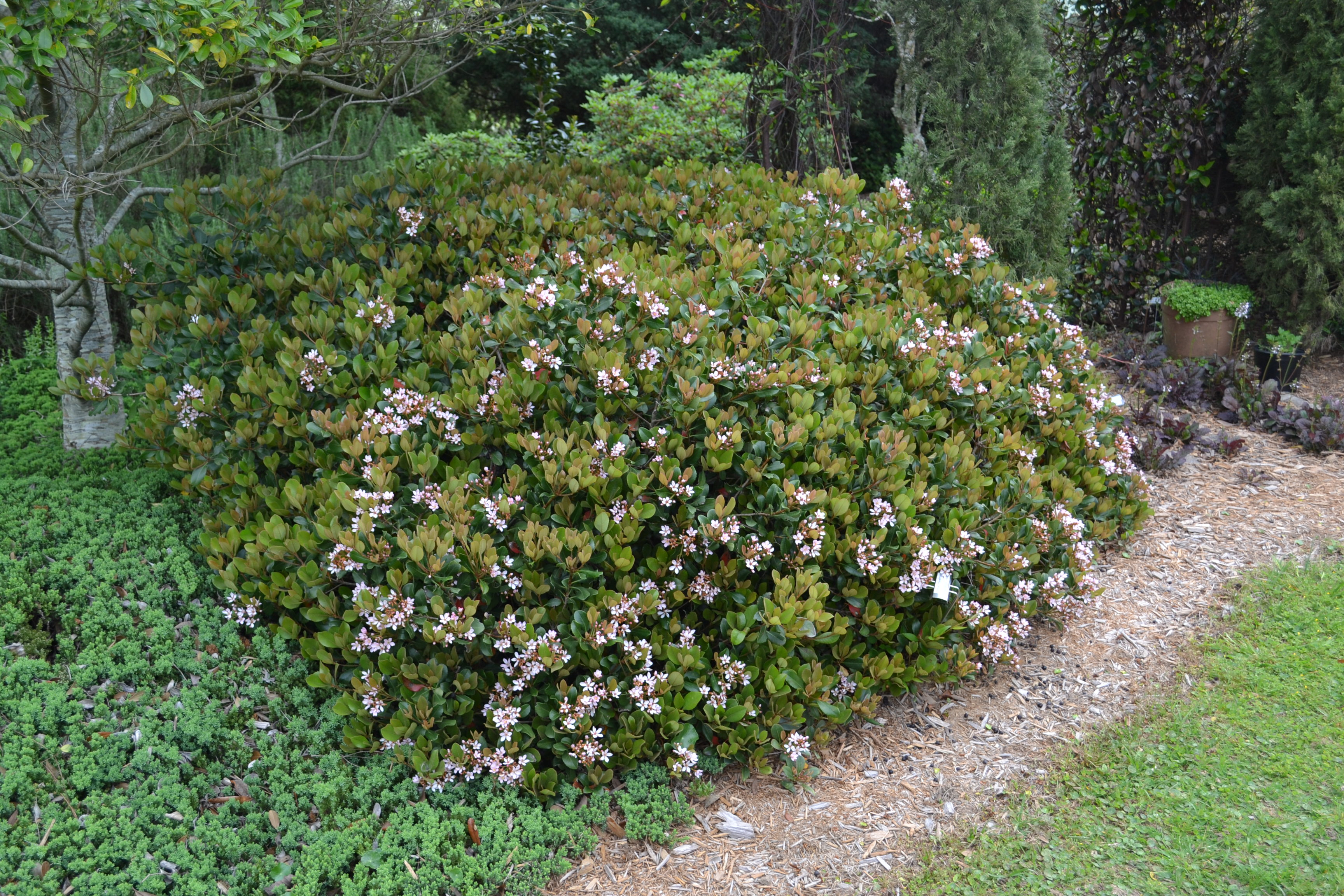 Plan carefully with indian hawthorn gardening in the for Indian food hawthorne