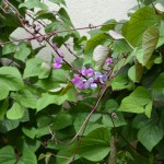 Purple Hyacinth Bean – What's Old is New