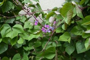 Lablab purpurea - Hyacinth bean
