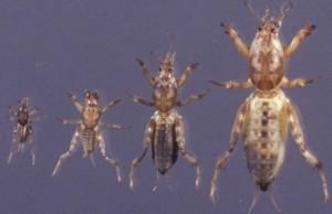 Mole cricket nymphs. Credit: J. Castner, UF/IFAS