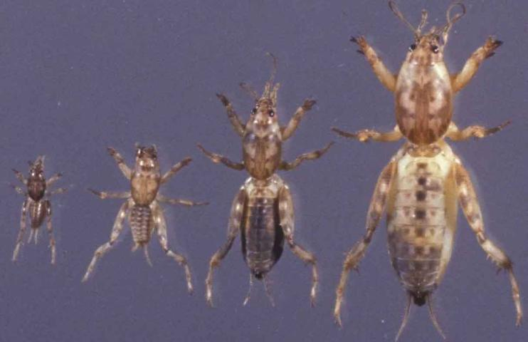 Best Time to Control Mole Crickets, If Needed