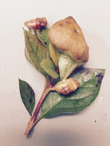 Azalea gall. Photo credit: Mary Derrick, UF/IFAS Extension.