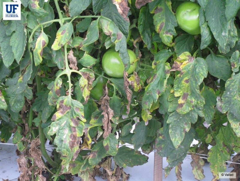 Tomato Foliar Diseases