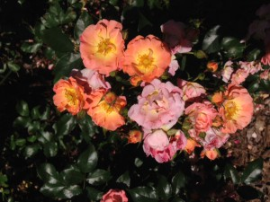 Peach Drift Rose blooming in Quincy at the UF/IFAS NFREC