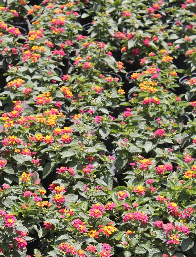 Dwarf lantana cultivar 'Anne Marie' - Image UF IFAS Extension, Matthew Orwat